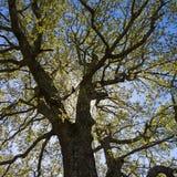 Grand chêne à rétro-éclairé Photographie stock libre de droits