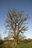 Grand chêne anglais Photos libres de droits