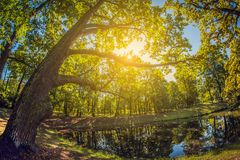 Grand chêne vert au soleil Verger en parc de ville avec l'étang lentille de fisheye de perspective de déformation image stock