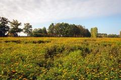 Grand champ avec beaucoup de soucis fleurissants oranges photos stock