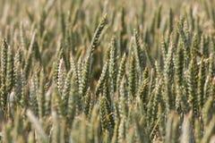 Grand champ complètement de blé Photo stock