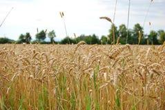 Grand champ de blé sous le ciel bleu Images libres de droits