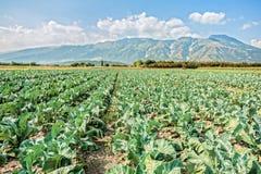 Grand champ de brocoli un jour d'été Image libre de droits