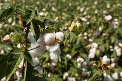Grand champ de coton Image libre de droits