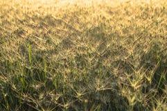 Grand champ de petits épillets verts Image libre de droits