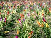 Grand champ des gladiolas colorés à un jour d'été photographie stock libre de droits