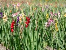 Grand champ des gladiolas colorés à un jour d'été image libre de droits