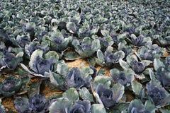 Grand champ végétal avec le chou rouge photos libres de droits