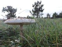 Grand champignon dans l'herbe humide Photos libres de droits