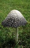Grand champignon de couche Image stock