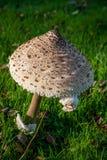 Grand champignon de couche Images libres de droits
