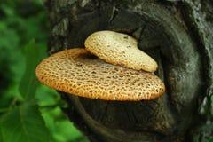 Grand champignon de couche d'arbre Photographie stock libre de droits