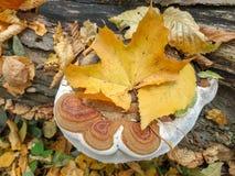 Grand champignon sur un arbre dans la forêt d'automne photos stock