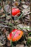 Grand champignon un agaric de mouche et un x28 ; Amanita& x29 ; élevage Image libre de droits