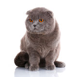 Grand chat, beau chat, chat de race, chat pelucheux, chat fier, chat gris - grand chat des Anglais Shorthair Images stock