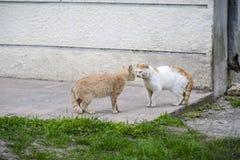 Grand chat de deux rues s'intimidant avant le combat blanc Photographie stock libre de droits