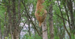 Grand chat de lynx s'élevant dans un arbre dans la forêt banque de vidéos