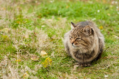 Grand chat de tabby Photographie stock