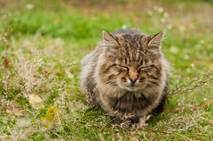 Grand chat de tabby Photo libre de droits