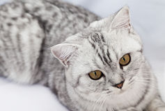 Grand chat gris Photo stock