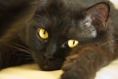 grand chat noir Photo libre de droits