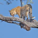 Grand chat repéré de léopard Photographie stock
