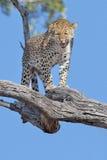 Grand chat repéré de léopard Images libres de droits