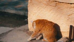 Grand chat sans abri rouge banque de vidéos