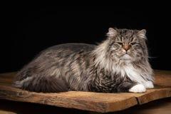 Grand chat sibérien sur le fond noir avec la texture en bois Images libres de droits