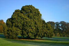 A Grand Chestnut Tree. Dominates the surruounding parkland in Buckinghamshire, England Stock Photos