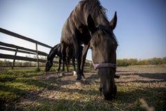 Grand cheval noir avec sa tête vers le bas Images libres de droits