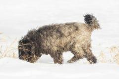 Grand chien avec de longs cheveux dans la neige Photographie stock libre de droits