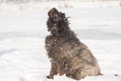 Grand chien avec de longs cheveux dans la neige Photographie stock