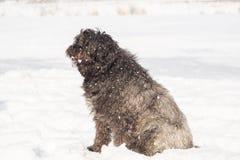 Grand chien avec de longs cheveux dans la neige Images libres de droits