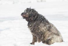 Grand chien avec de longs cheveux dans la neige Image libre de droits