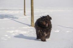 Grand chien avec de longs cheveux dans la neige Images stock