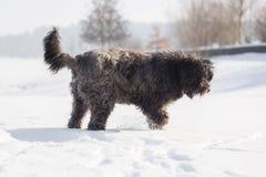 Grand chien avec de longs cheveux dans la neige Photos libres de droits