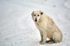 Grand chien blanc dans la neige photo stock