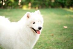 Grand chien blanc jouant dans l'arrière cour Images stock