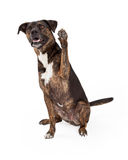 Grand chien bringé soulevant la patte Image stock