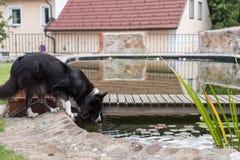 Grand chien buvant par l'étang Photographie stock libre de droits