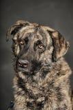 Grand chien dans le studio Photo stock
