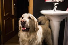 Grand chien heureux se tenant dans une salle de bains regardant de côté et souriant image libre de droits