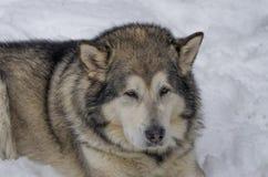 Grand chien hirsute Image libre de droits