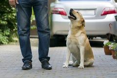 Grand chien jaune-clair développé Labrador se reposant dans la cour pavée aux jambes de l'homme et regardant le propriétaire sur  Photos stock