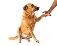 Grand chien jaune se serrant la main Photographie stock libre de droits