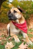 Grand chien mélangé de race en automne Image stock