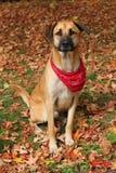 Grand chien mélangé de race en automne Photos stock