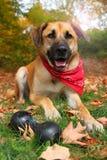 Grand chien mélangé de race en automne Images stock