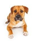 Grand chien mélangé de race s'étendant avec les pattes tendues Images libres de droits